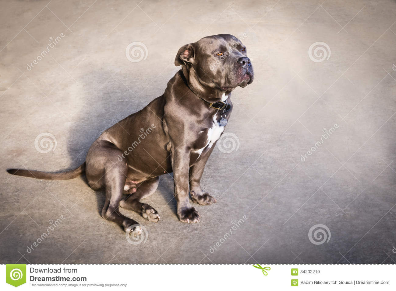 American Blue Nose Bully Dog Stock Image - Image of color