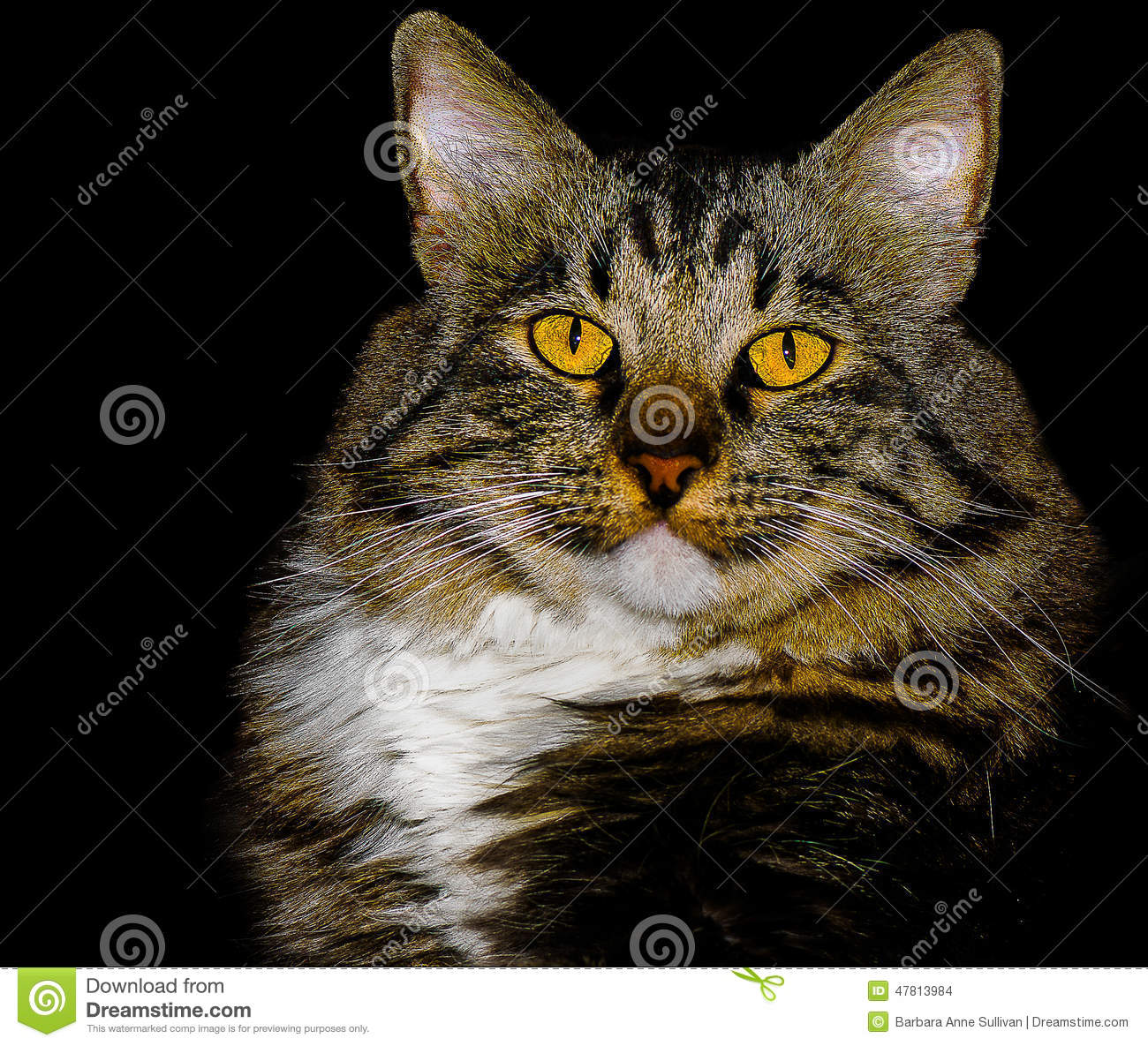 American Bobtail Mix Breed Cat With Stunning Yellow Eyes