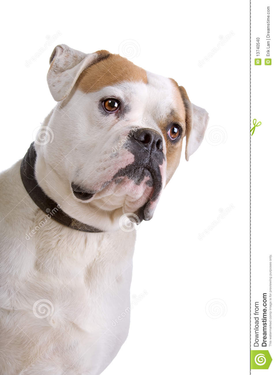 American Bulldog Stock Photo Image 13740540