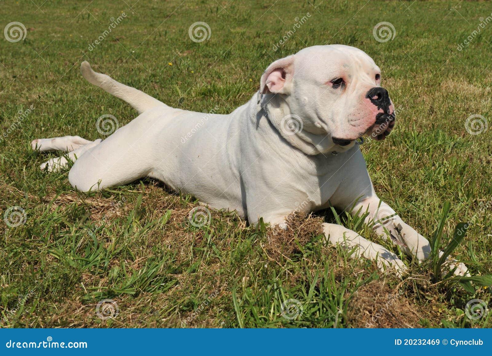 American Bulldog Stock Image Image Of Lying Argentinian