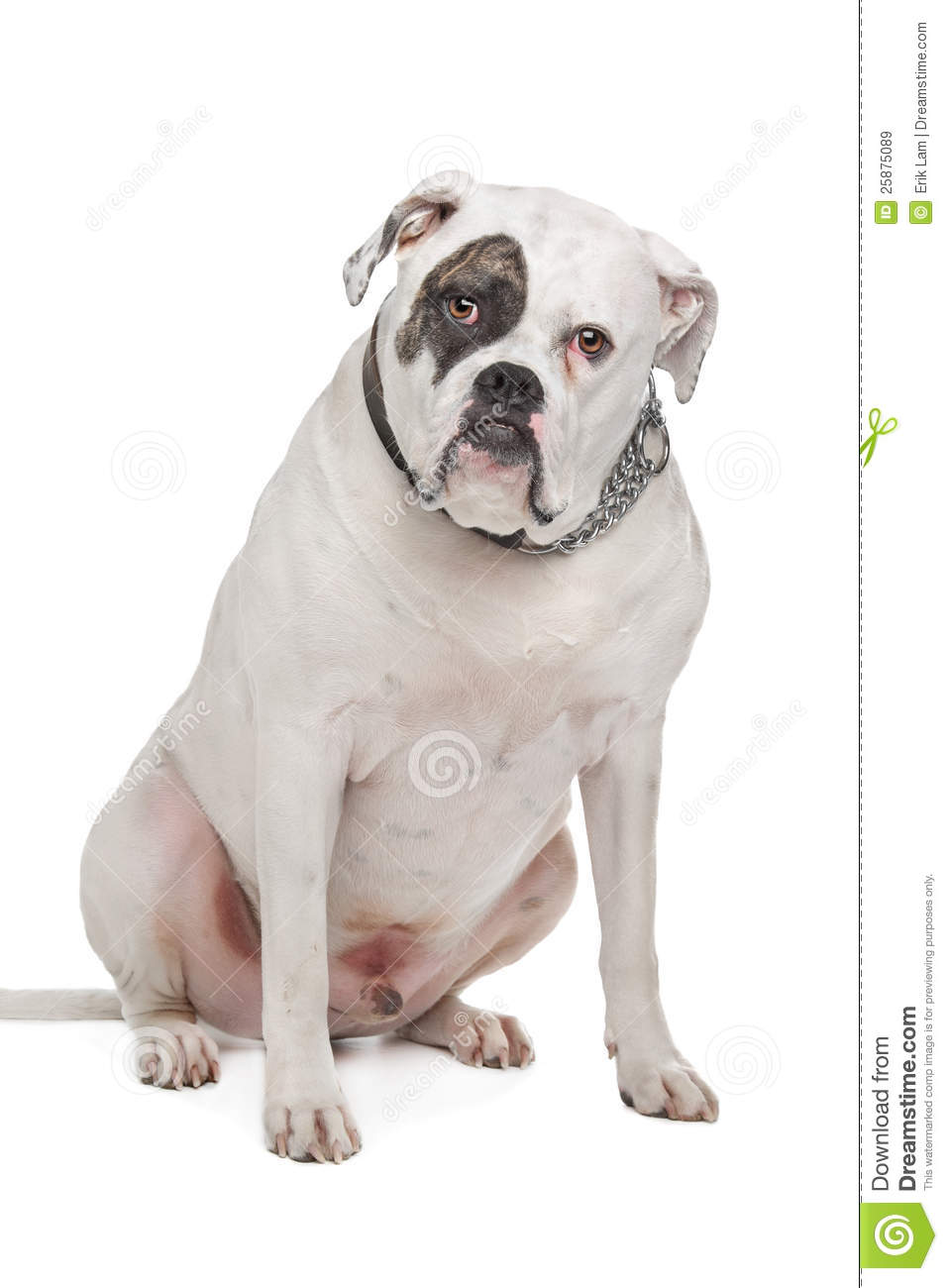 American bulldog vector - photo#21