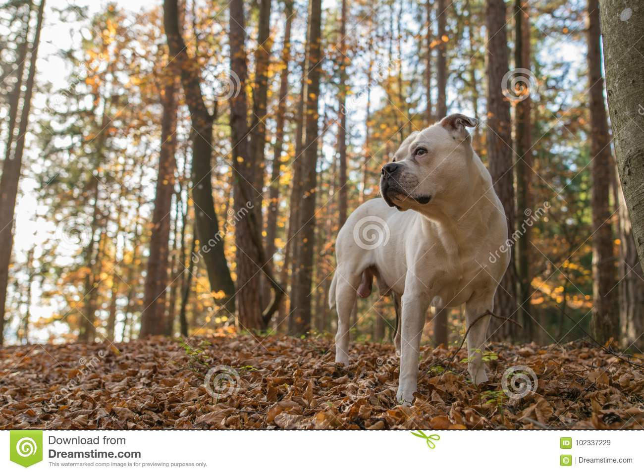 American Bulldog looking in the distance