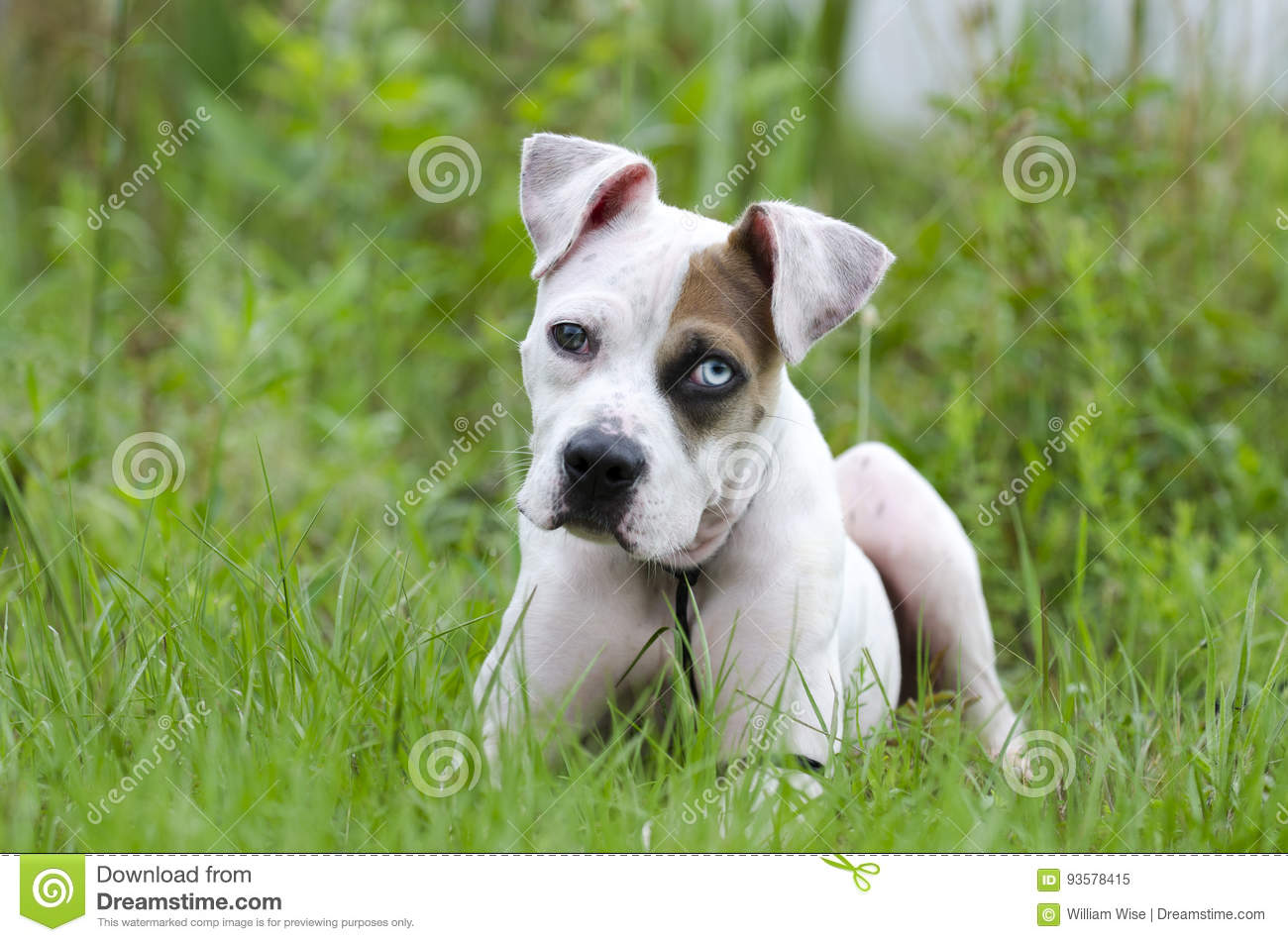 American Bulldog Mixed Breed Puppy With Blue Eye Stock Image - Image
