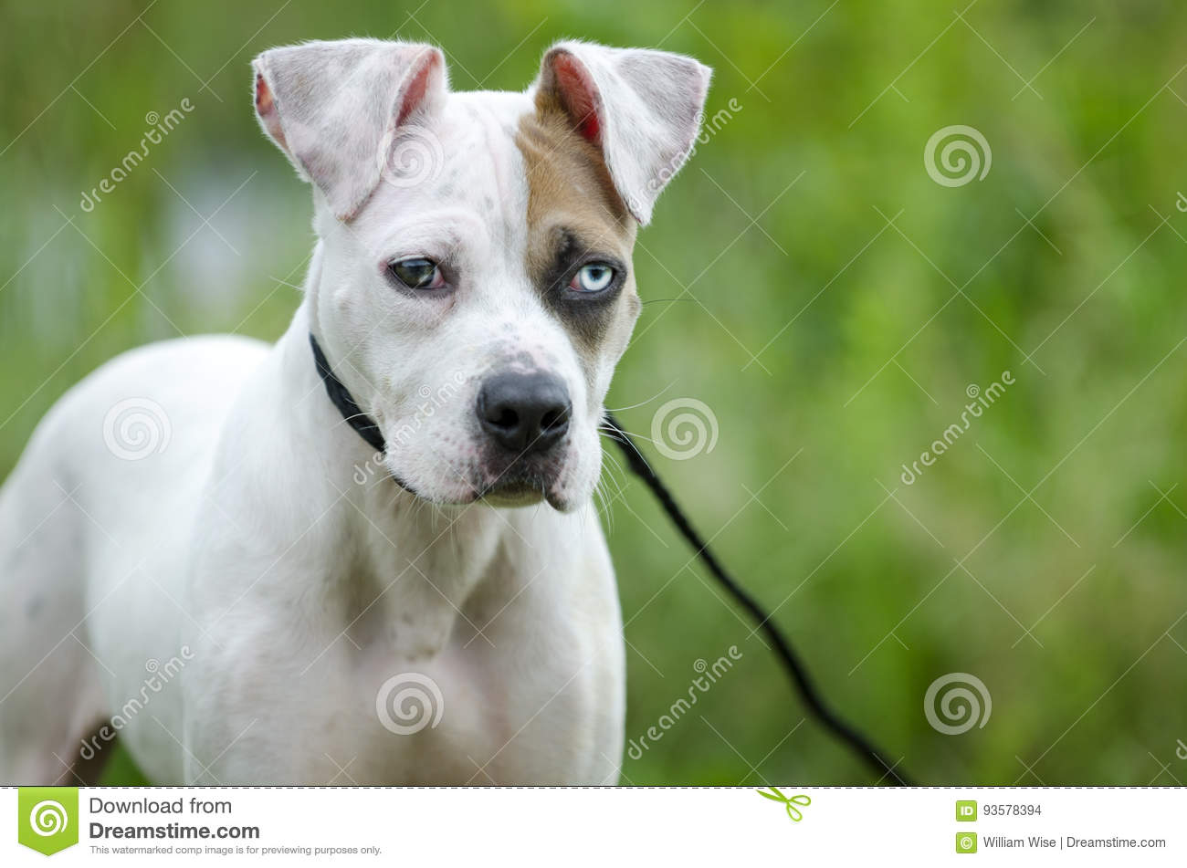 American Bulldog Mixed Breed Puppy Dog Stock Photo - Image of