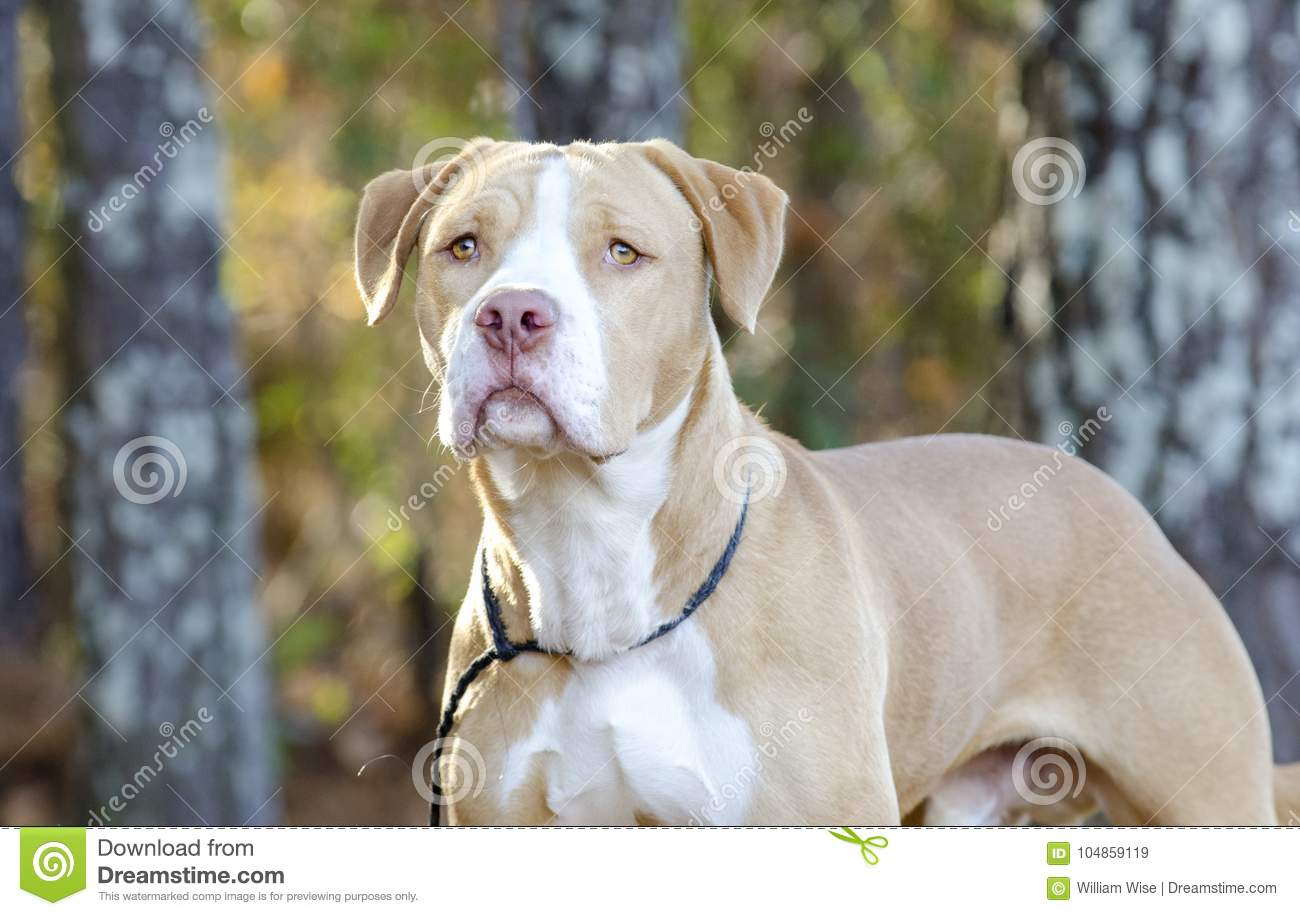 American Bulldog Pitbull Mixed Breed Dog Stock Image - Image of