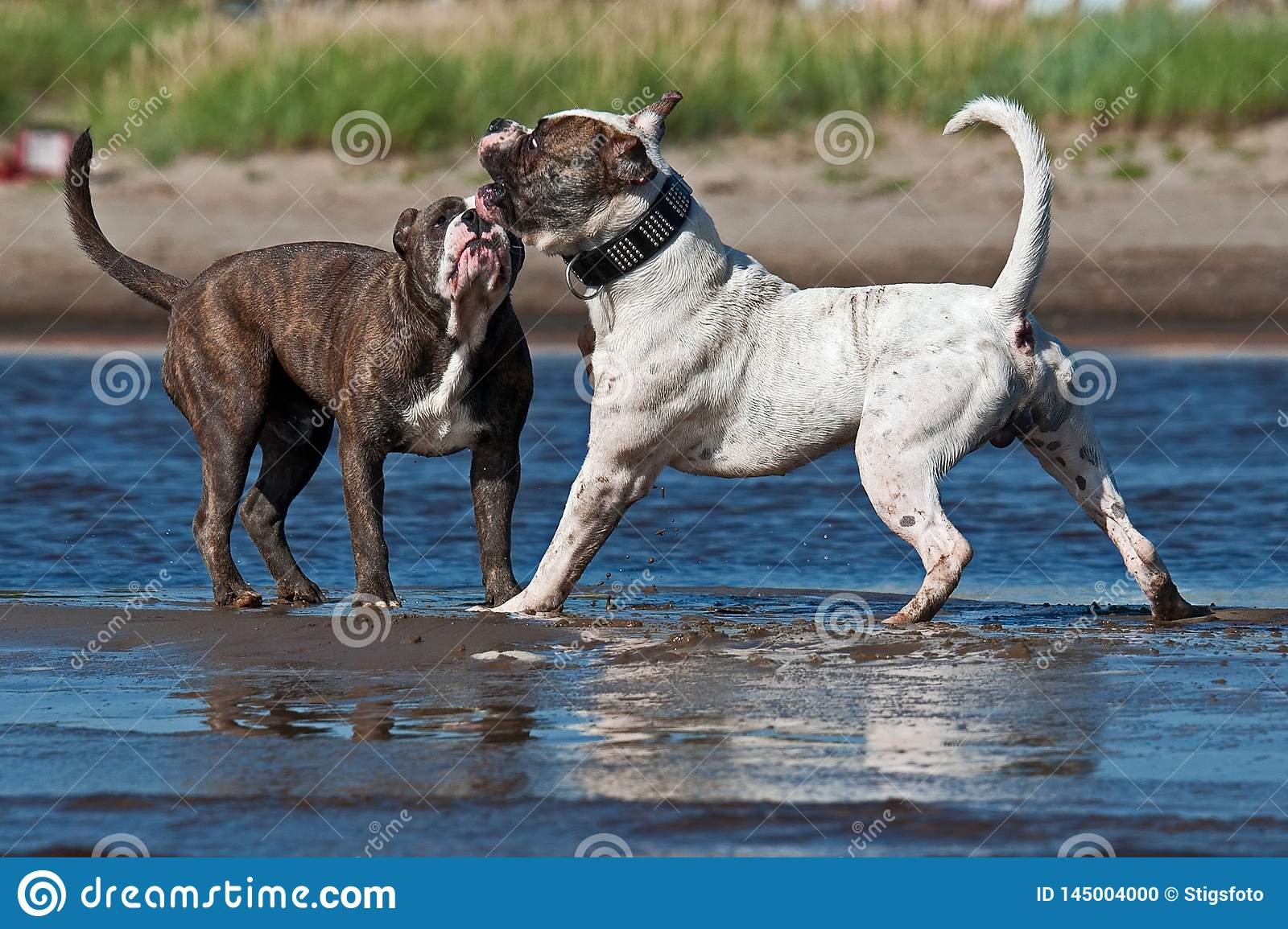 American Bulldog play fighting with a Old English