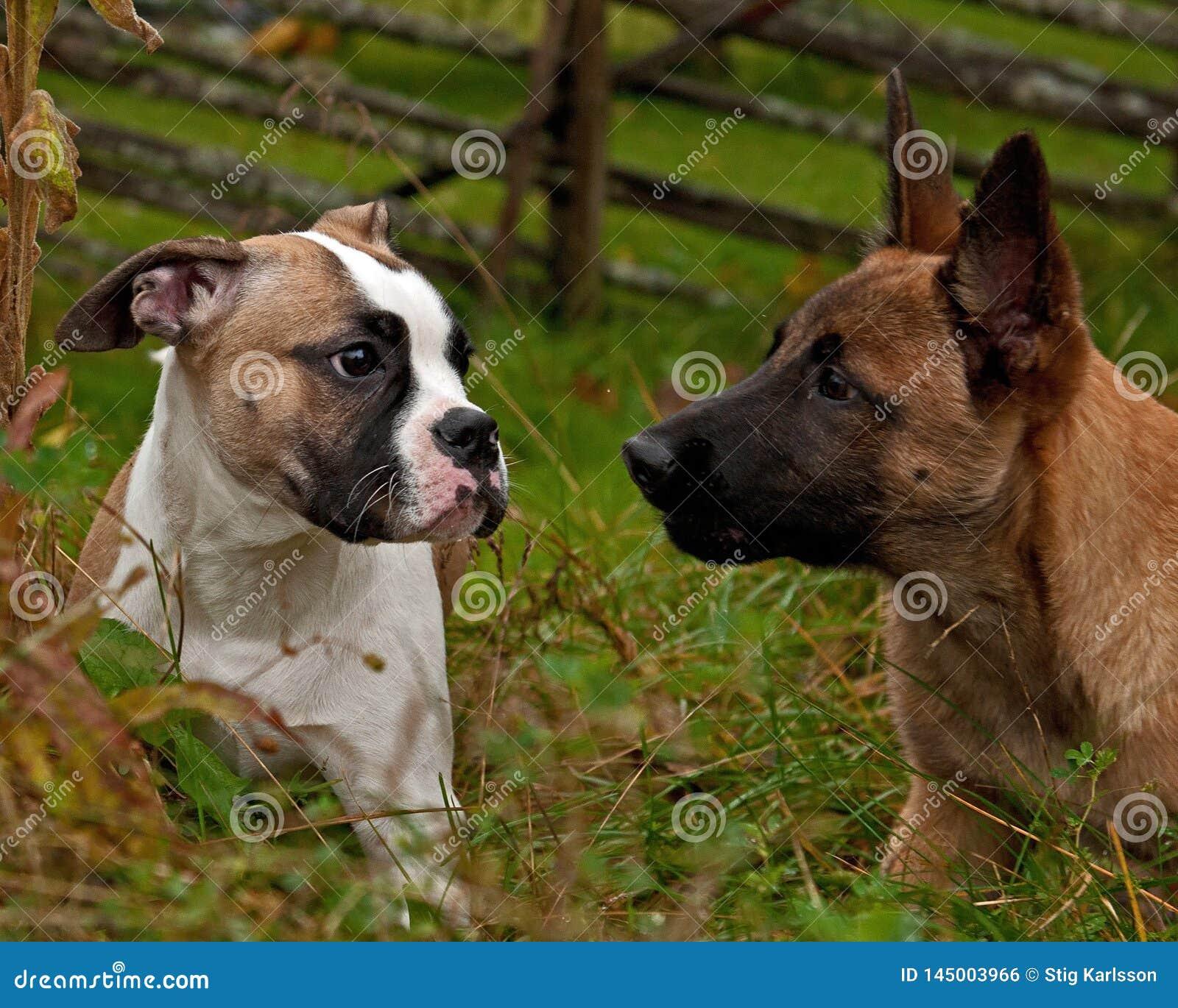 American Bulldog puppy and a Malinois puppy,