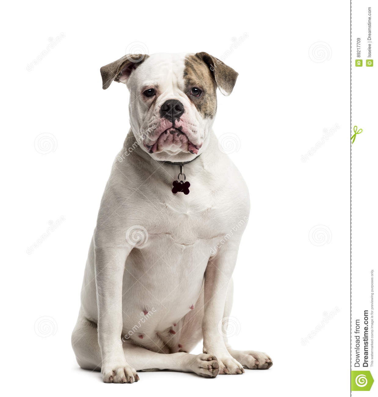 American Bulldog Sitting, 1 Year Old, Isolated Stock Image