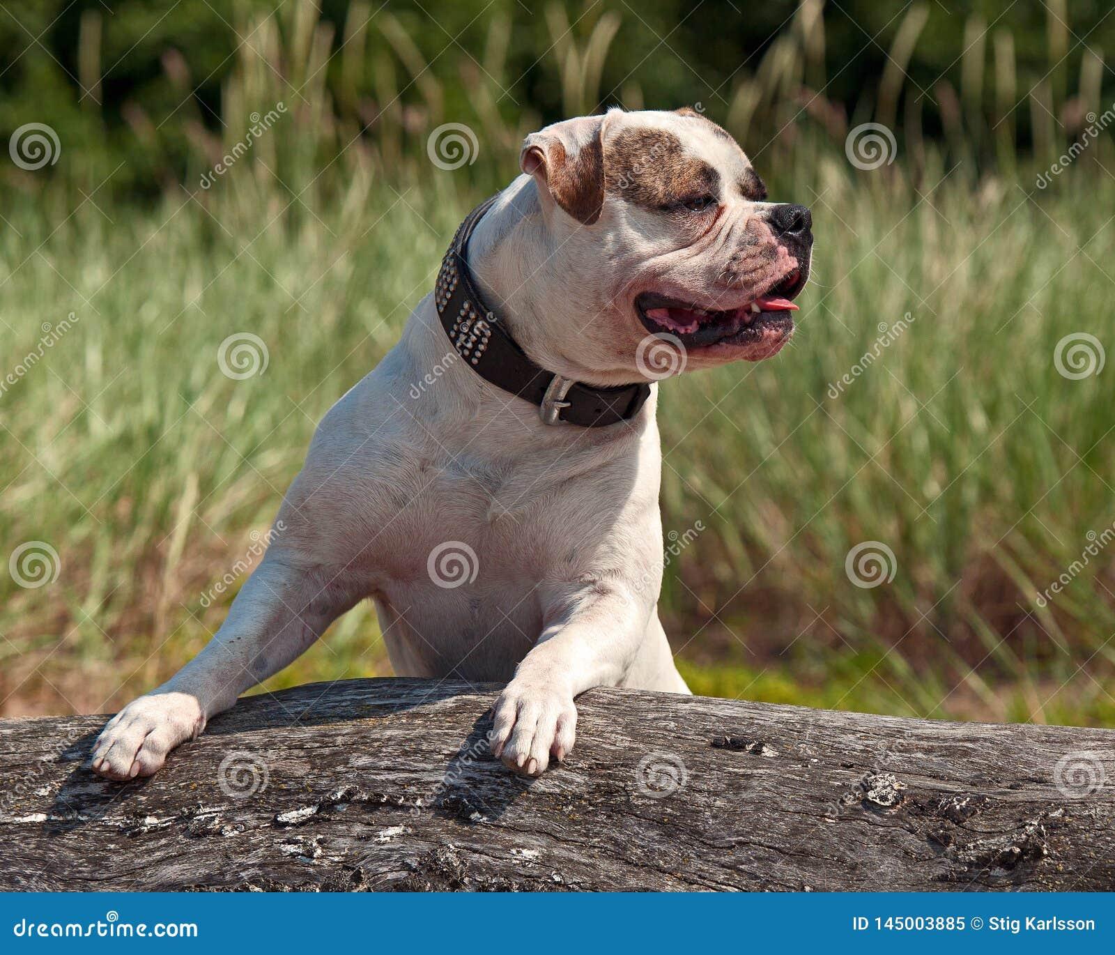 American Bulldog is watching