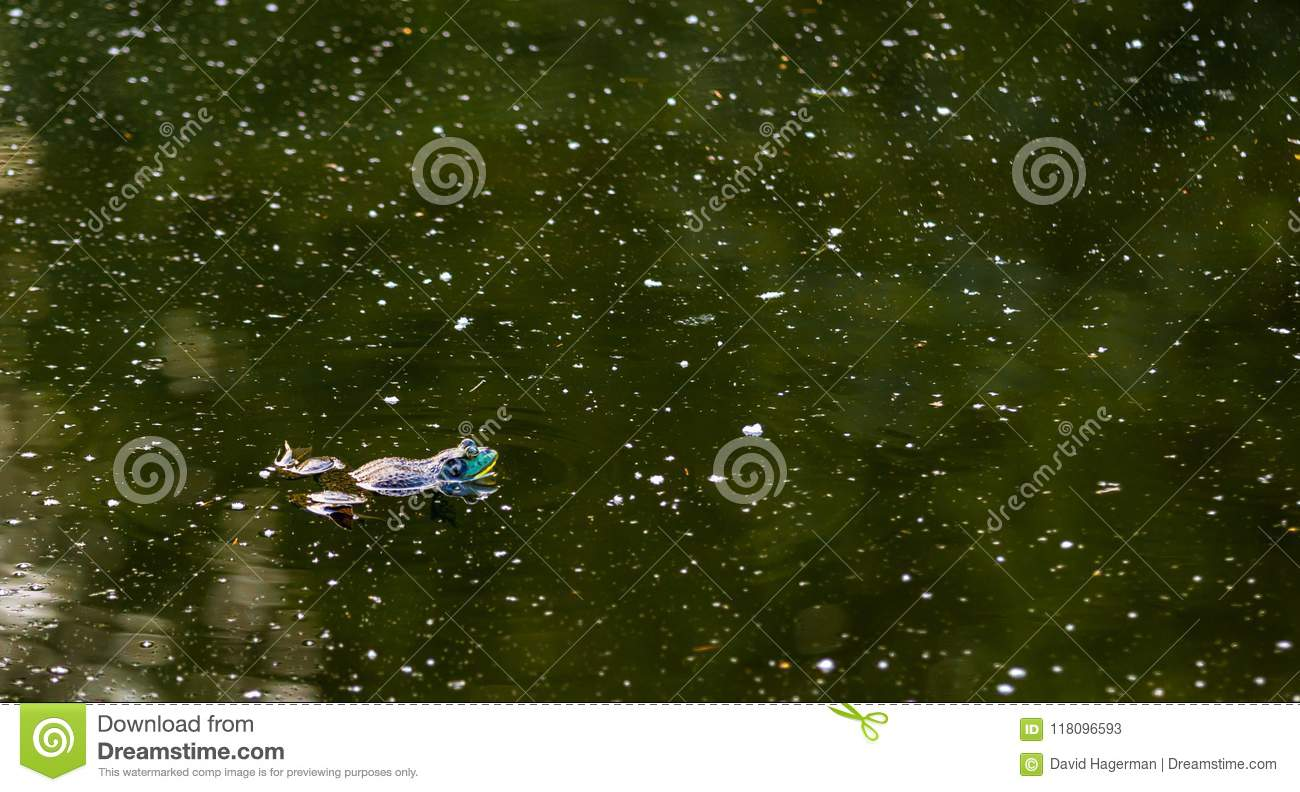 American Bullfrog floating in a murky green pond