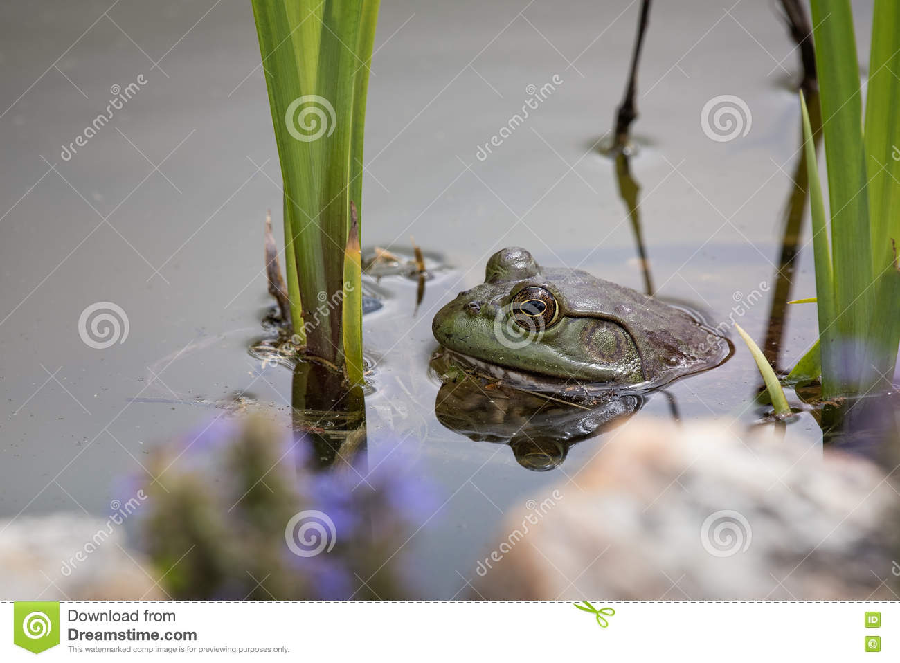 American Bullfrog in a pond in Missouri