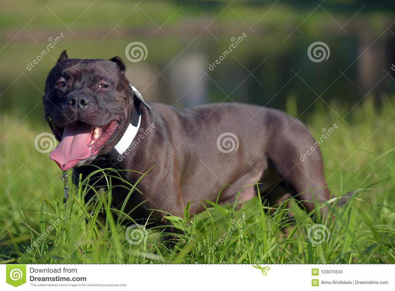 american bully dog breed stock image image of black 123074543