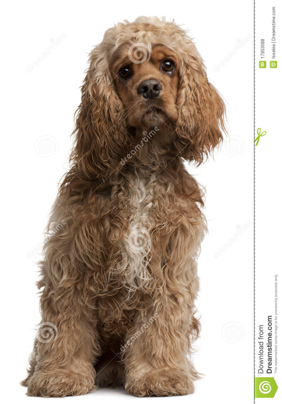American Cocker Spaniel, 10 months old