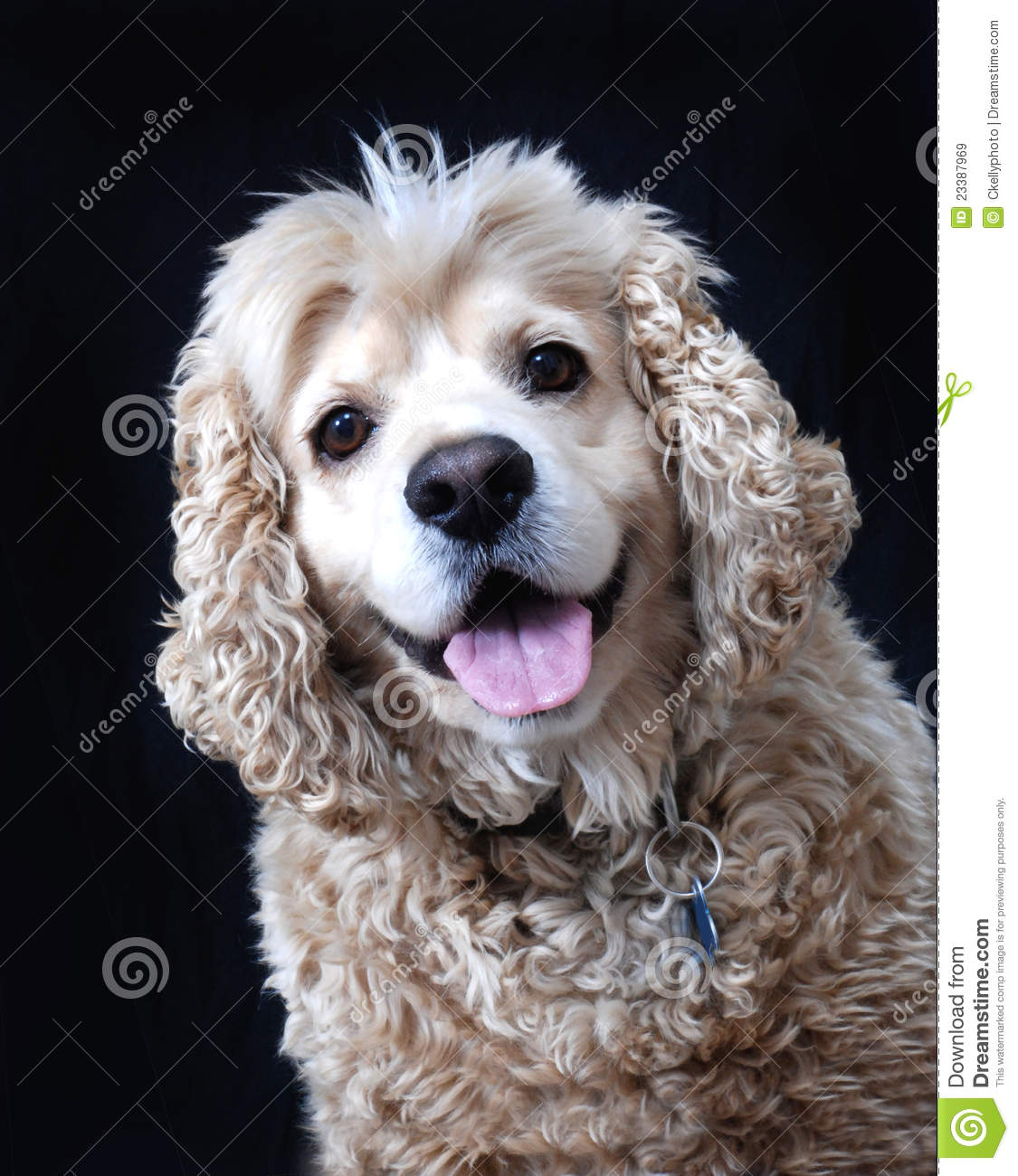 American Cocker Spaniel Dog Fawn Color Stock Image Image Of Fawn