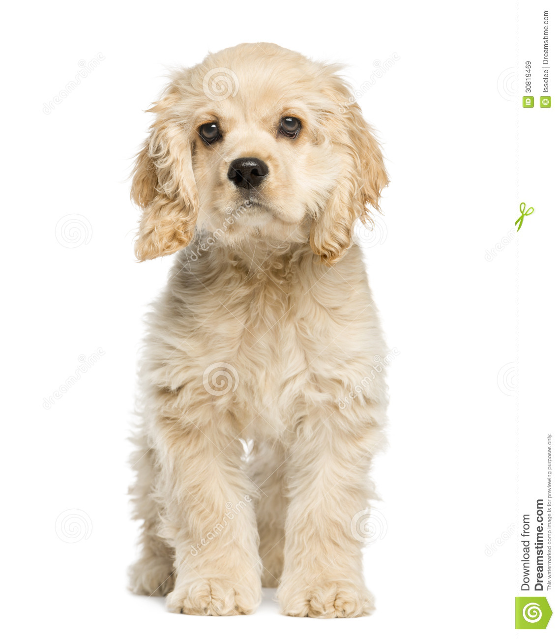 Royalty Free Stock Images: American cocker spaniel puppy sitting and ...