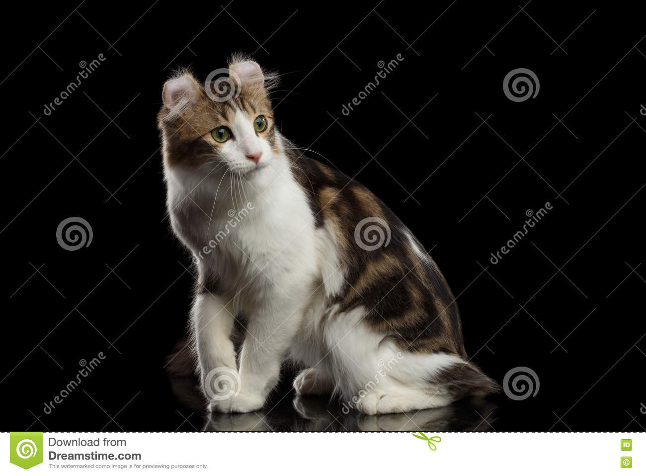 American Curl Cat Breed, Sitting on Black Isolated background