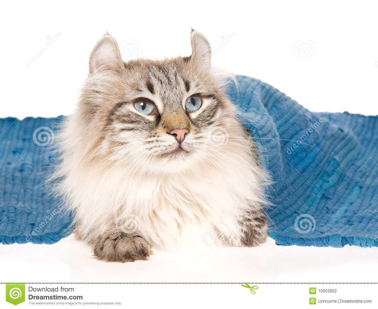 American Curl Cat Lying Under Blue Rug Stock Photo Image