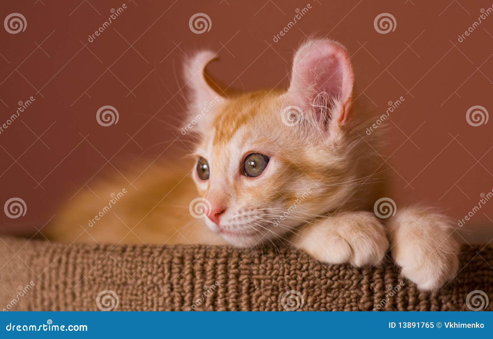 American Curl Cat Cost