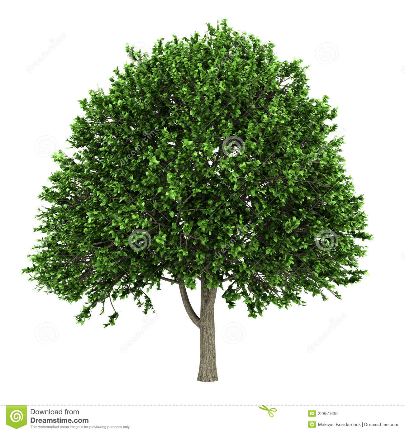 Elm Tree Isolated Over White Stock Photo 81286948 : Shutterstock