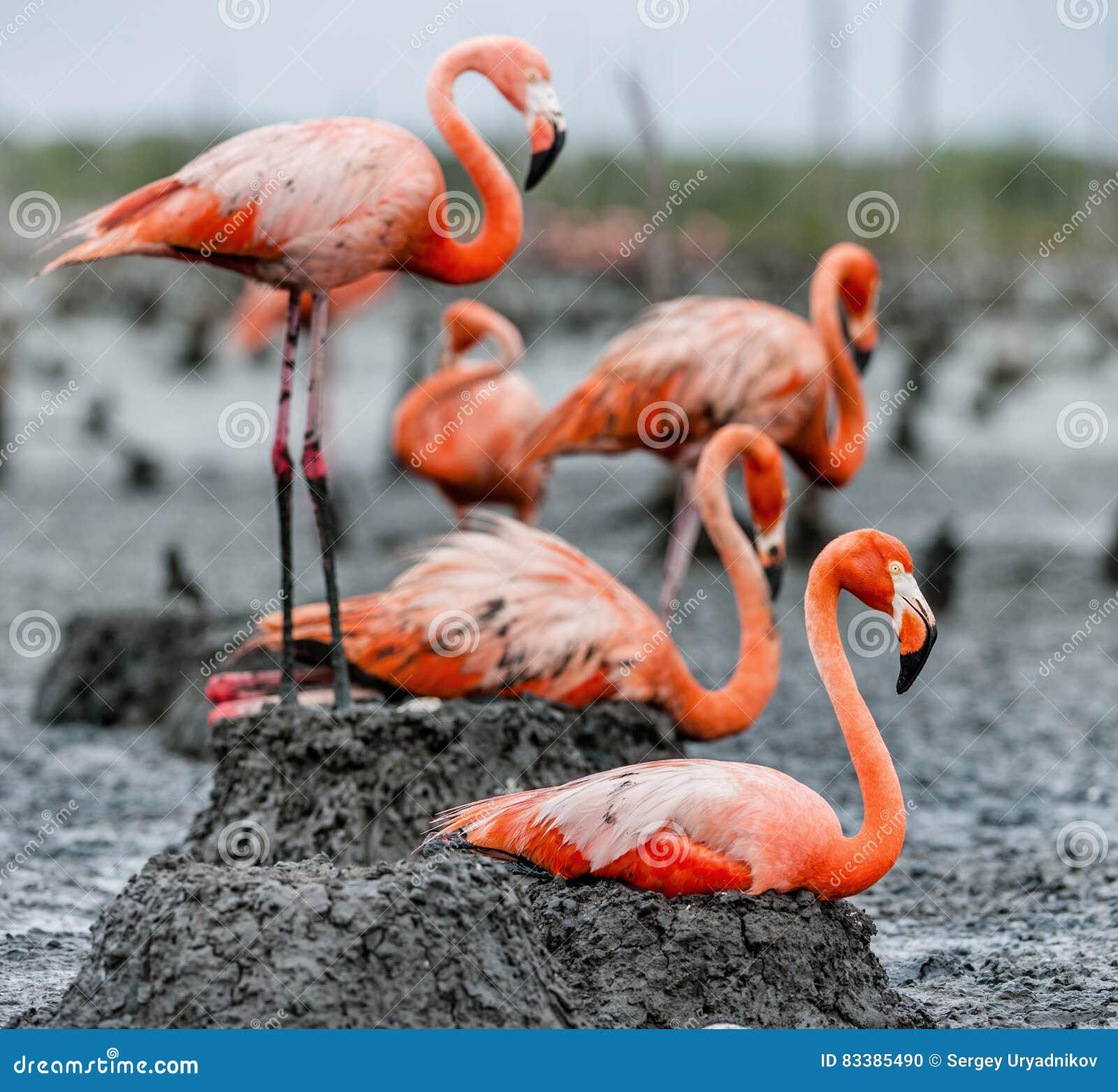Flamingo Nests American Flamingo On T...