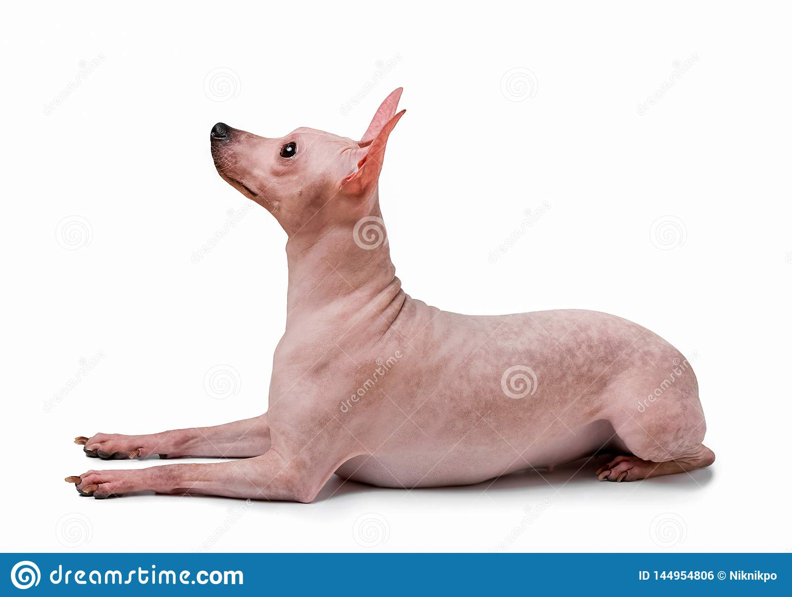 American Hairless Terrier dog lying down isolated on white background
