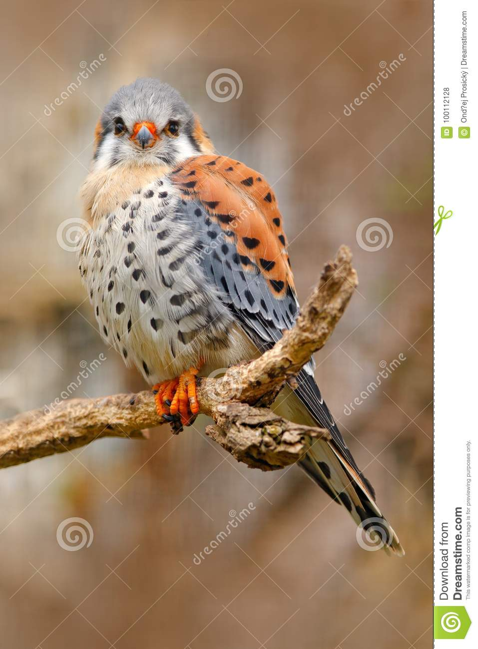 American kestrel Falco sparverius, sitting on the tree stump, little bird of prey sitting on the tree trunk, Mexico. Birds in the