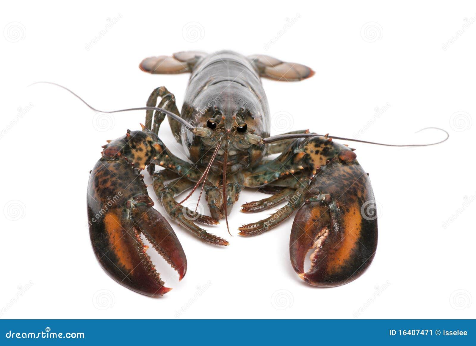 American Lobster, Homarus Americanus Stock Image - Image: 16407471