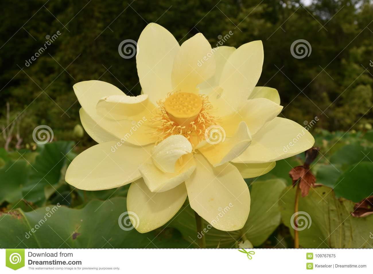 American Lotus Flower Detail Stock Image Image Of Pennsylvania