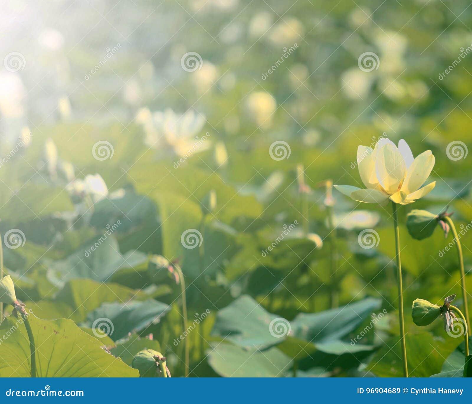American Lotus Flower Stock Image Image Of Yellow Chinquapin