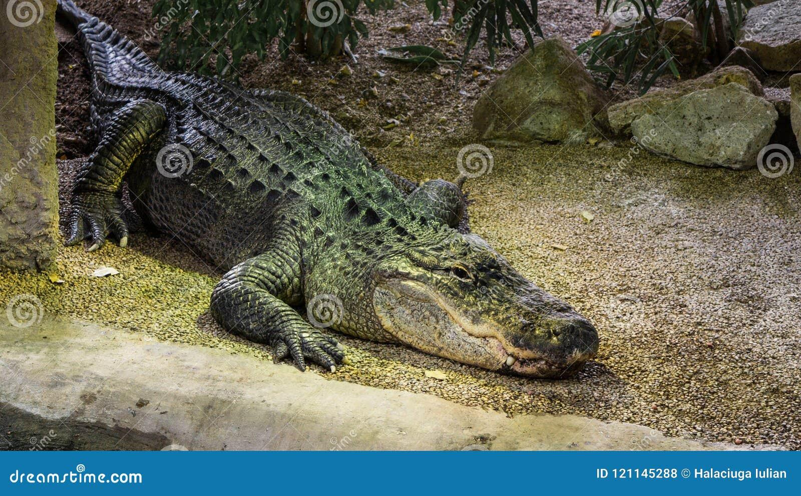 American Mississippiensis Alligator in artificial habitat