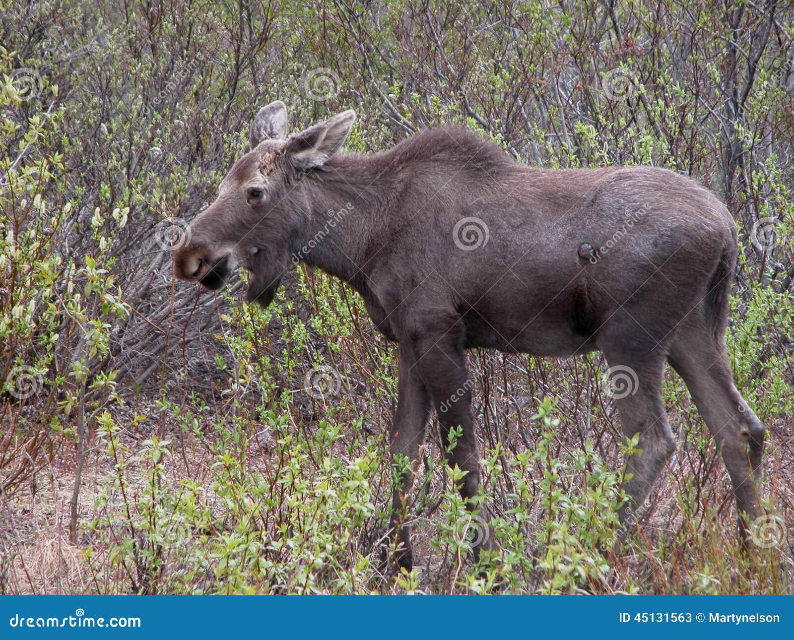 Eurasian elk - photo#29