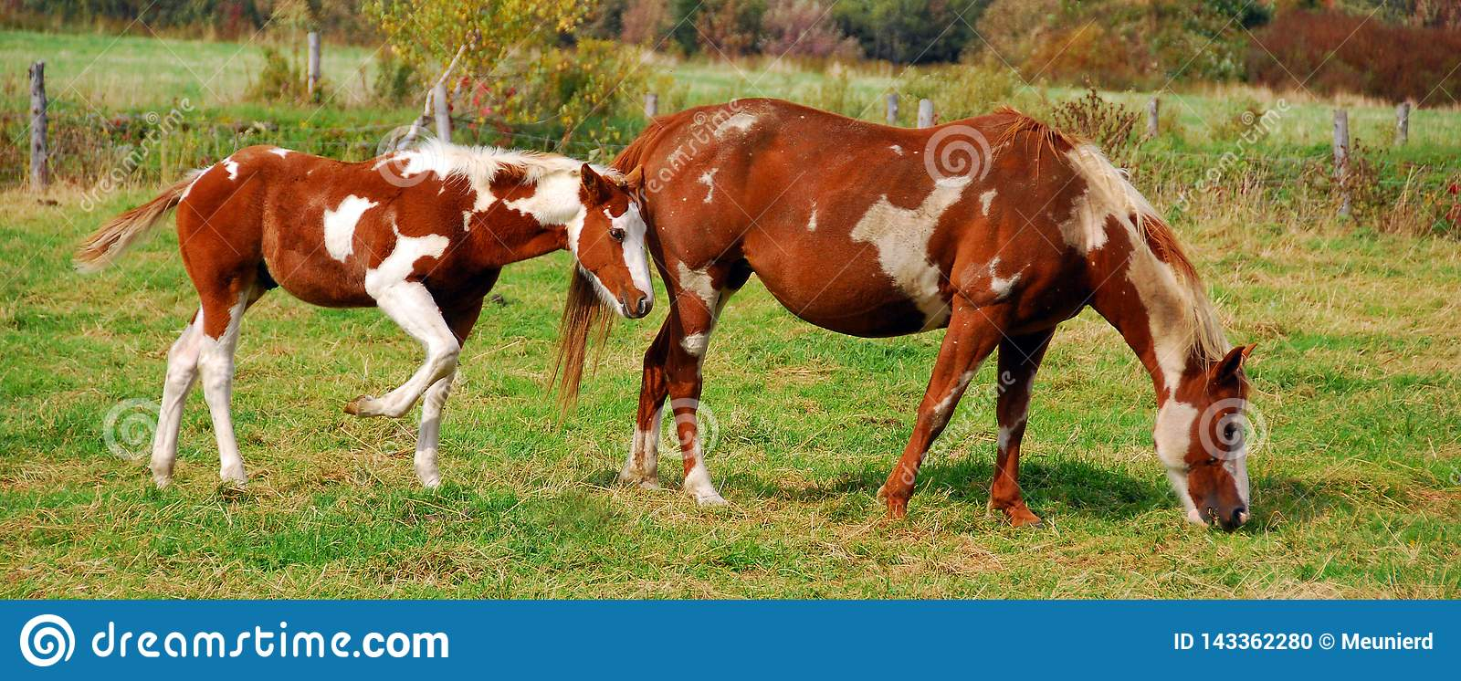 392 Breed Horse Paint Photos Free Royalty Free Stock Photos From Dreamstime