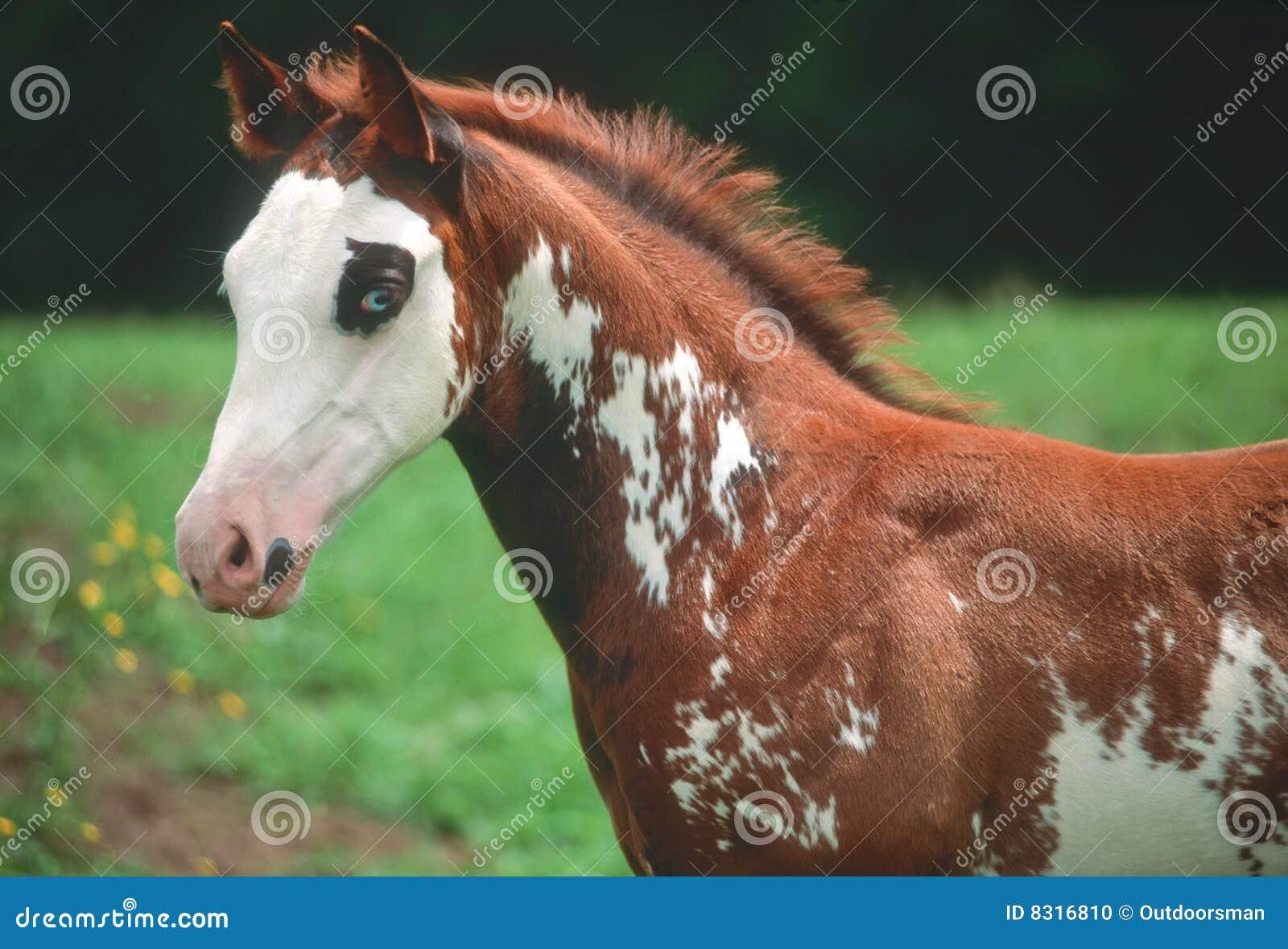 American paint horse colt