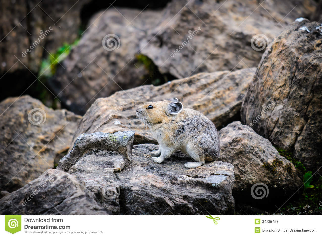 Wild Pika feeding on grass in a talus field, Kananaskis Country ...
