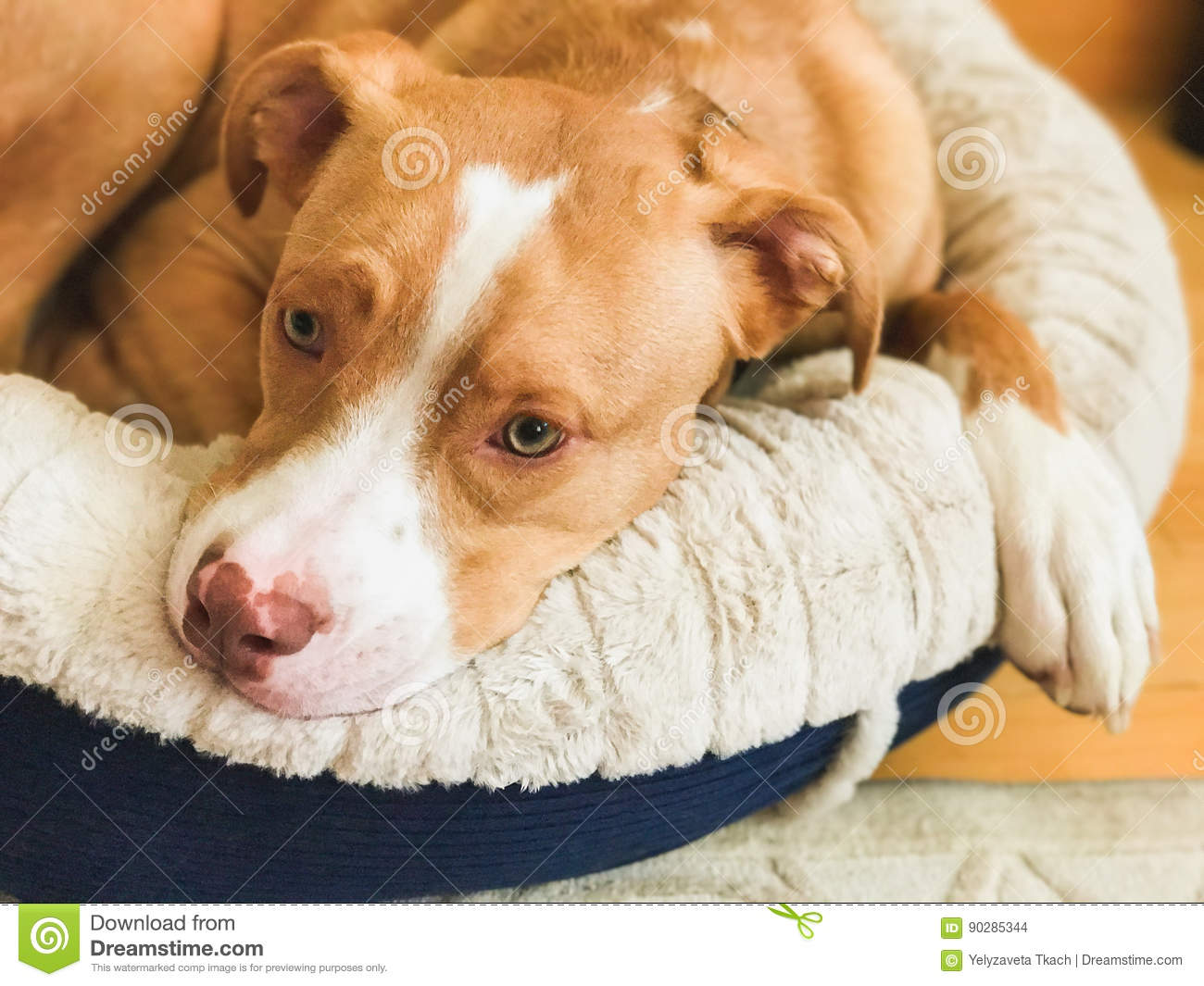 American Pit Bull Terrier, Beige Color Stock Photo - Image