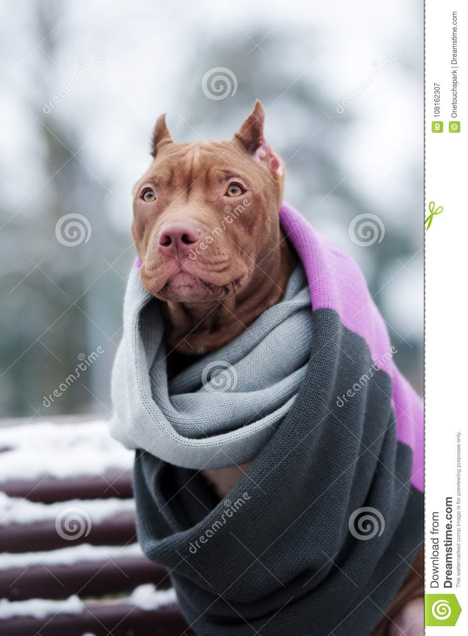 American Pit Bull Terrier Puppy In A Scarf Outdoors In Winter Stock