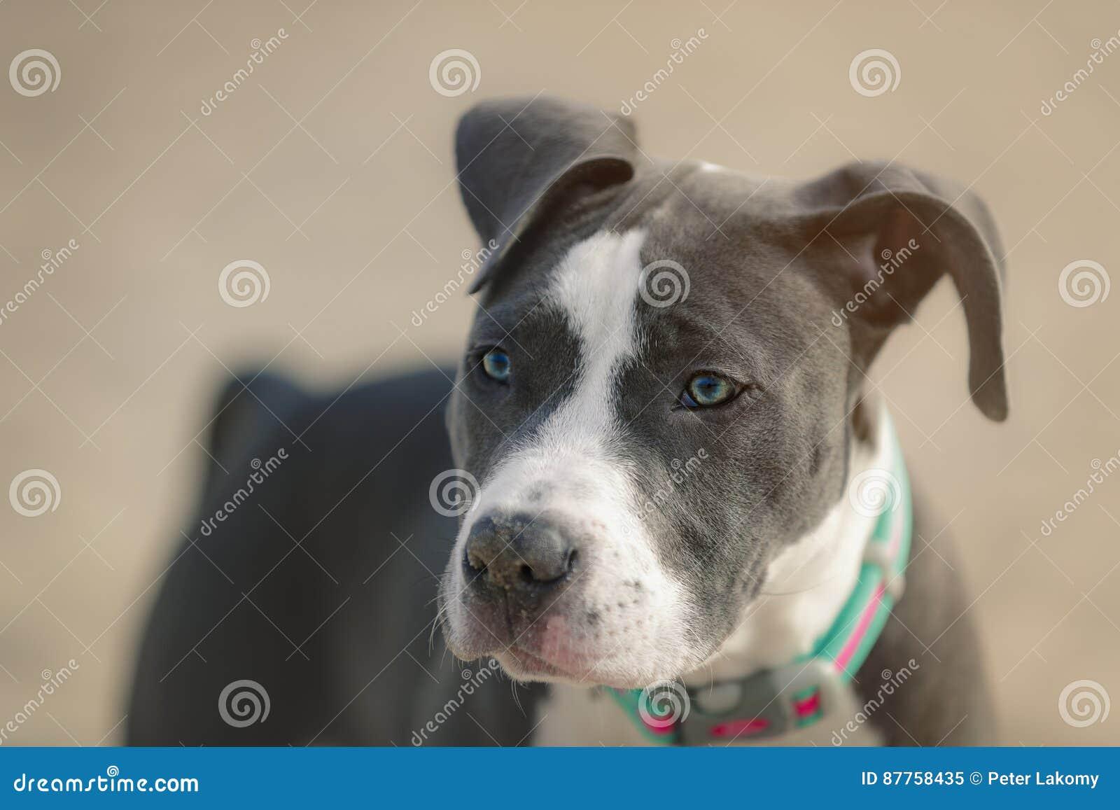 American Pitbull stock image  Image of male, game, american