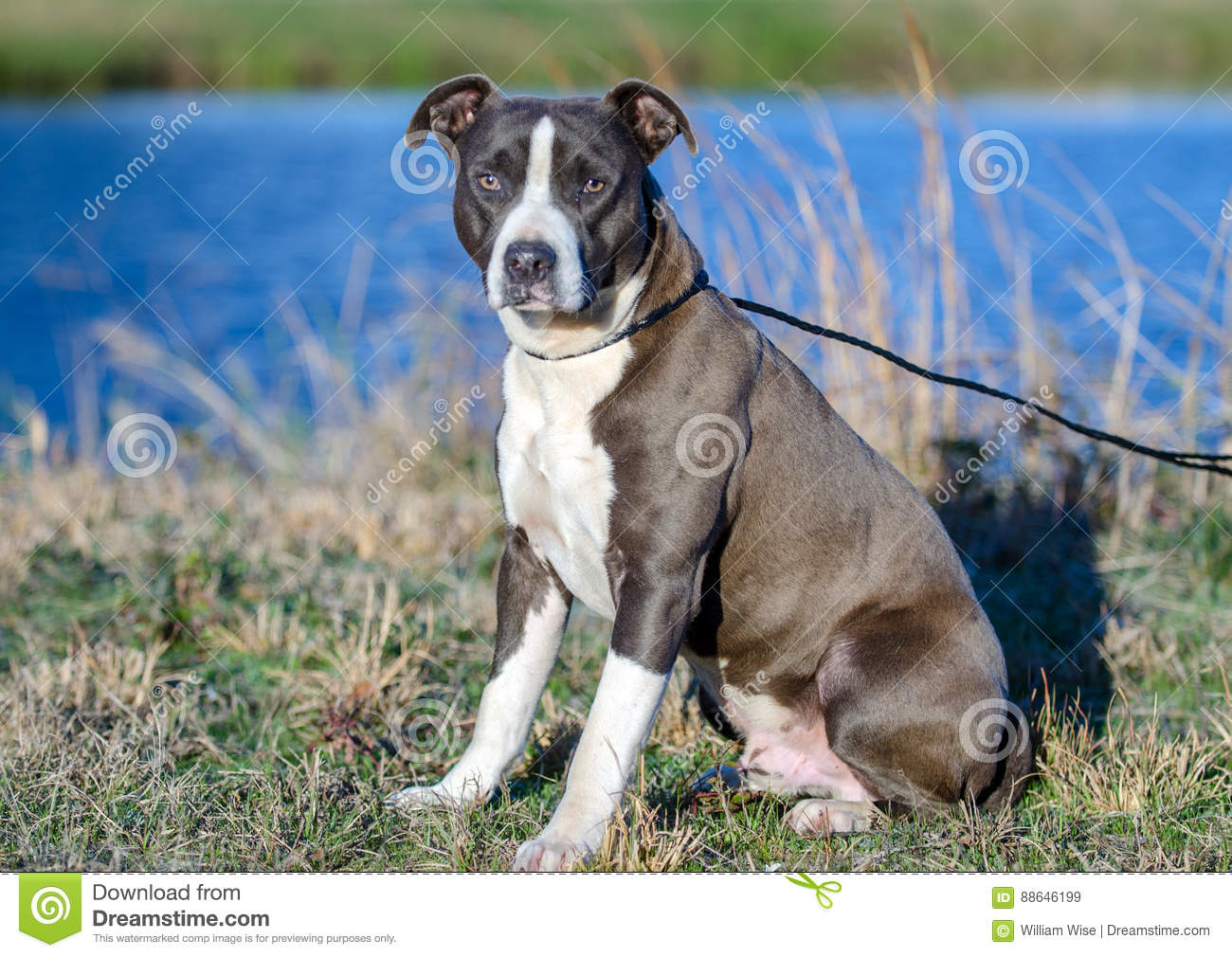 American Pitbull Terrier Dog Walton County Animal Shelter Stock