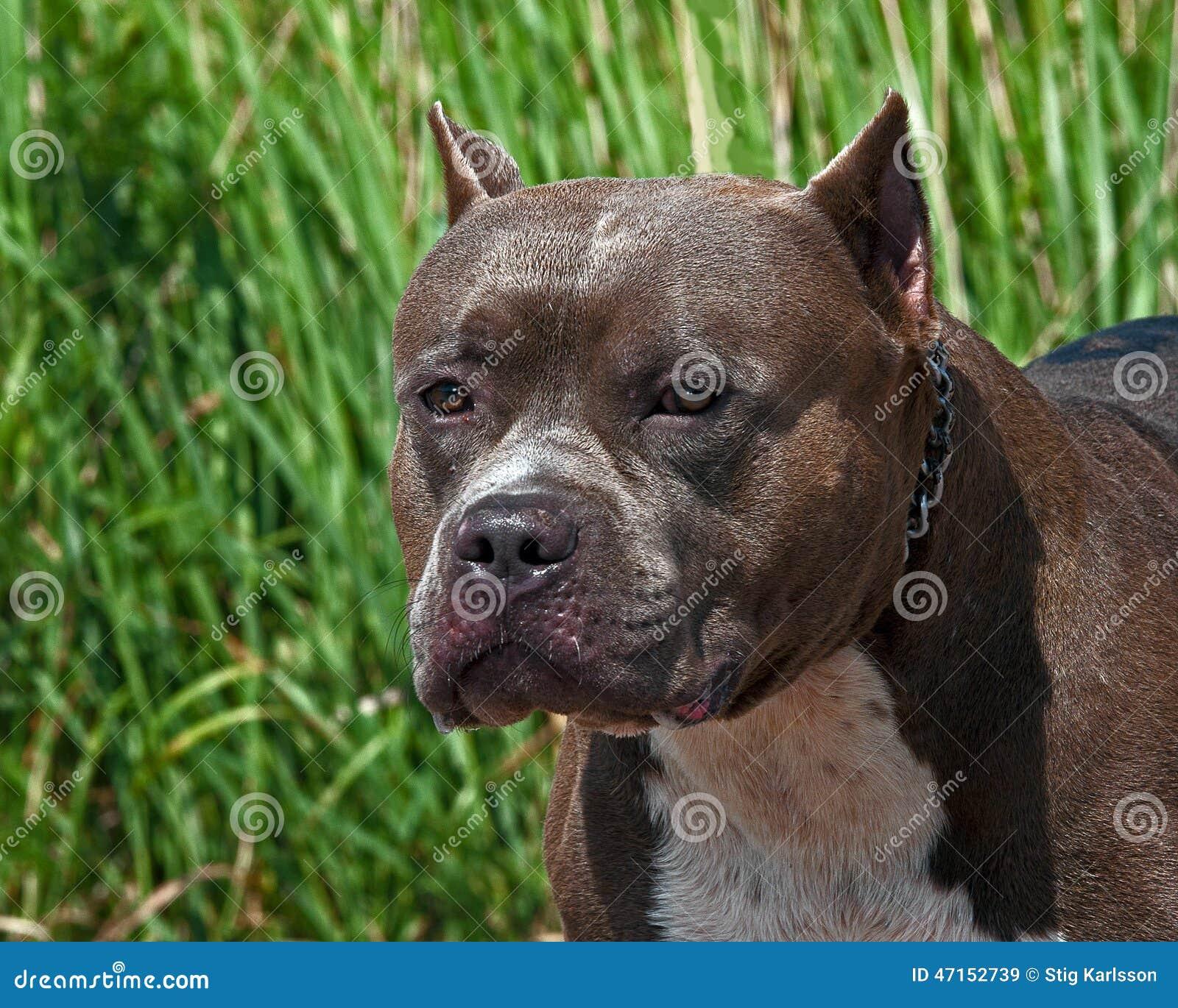 American Pitbull Terrier Portrait Of The Head Stock Photo
