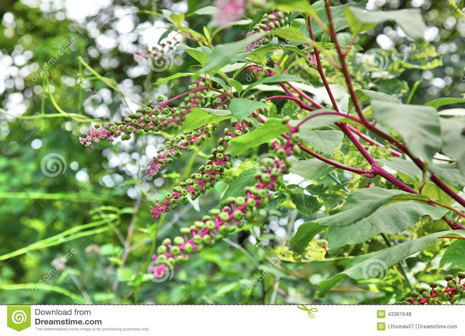 American Pokeweed aka Poke Sallet branches