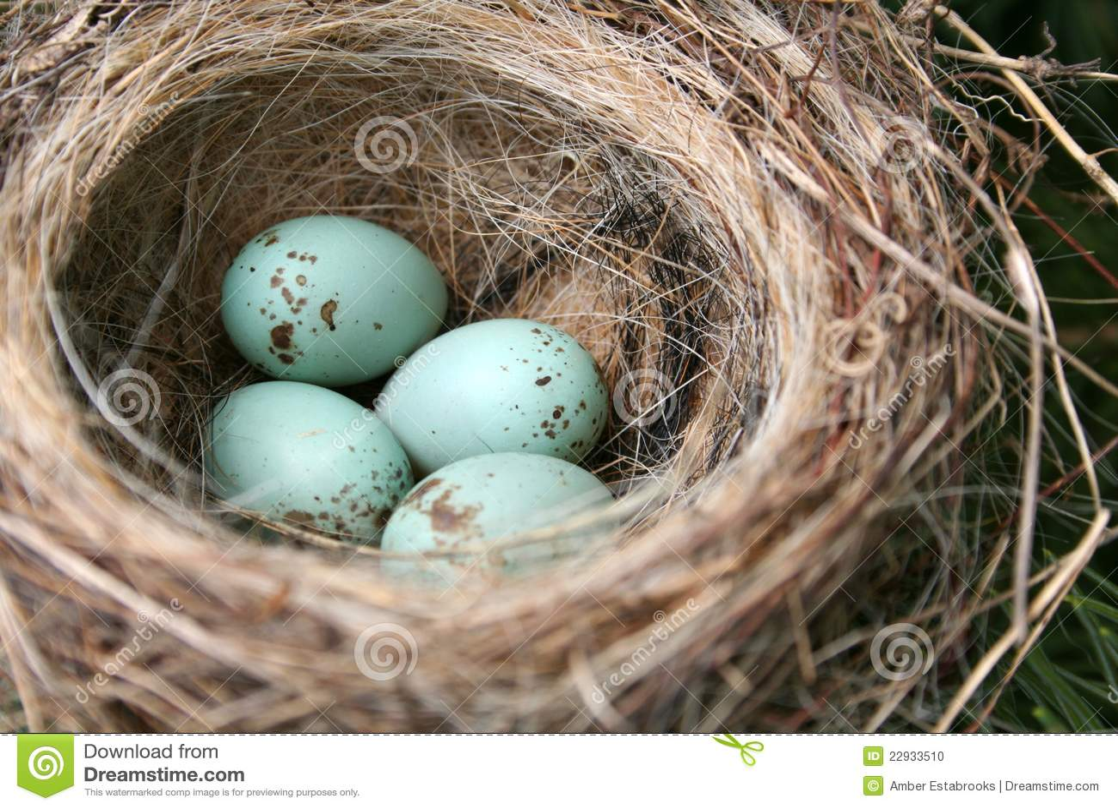 Download American Robin Eggs stock photo. Image of bird, american - 22933510