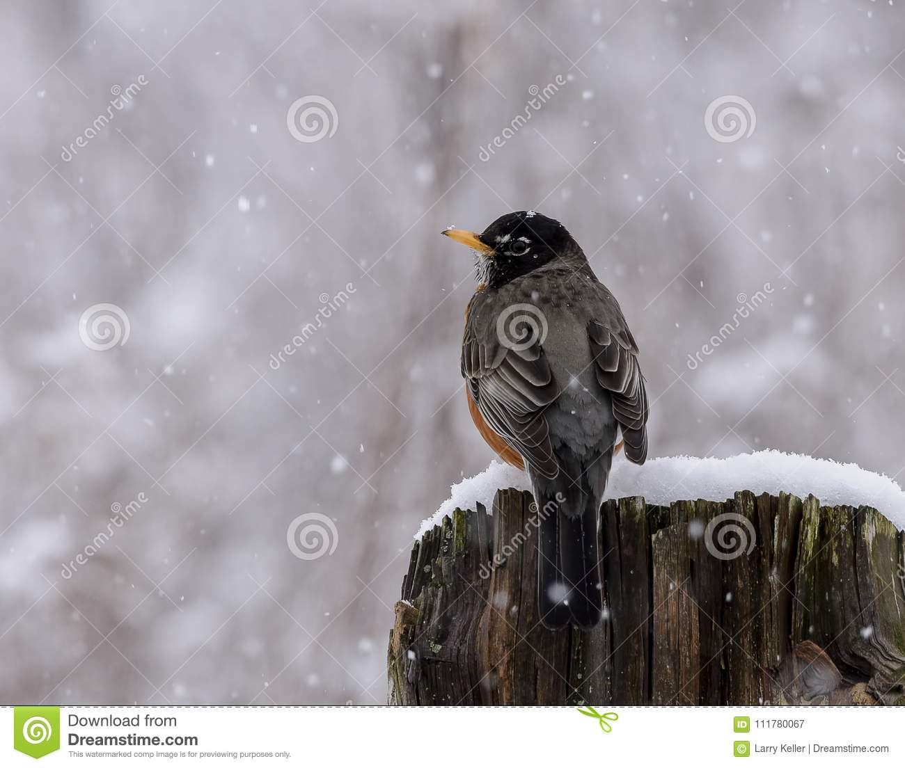 American Robin in a late snow