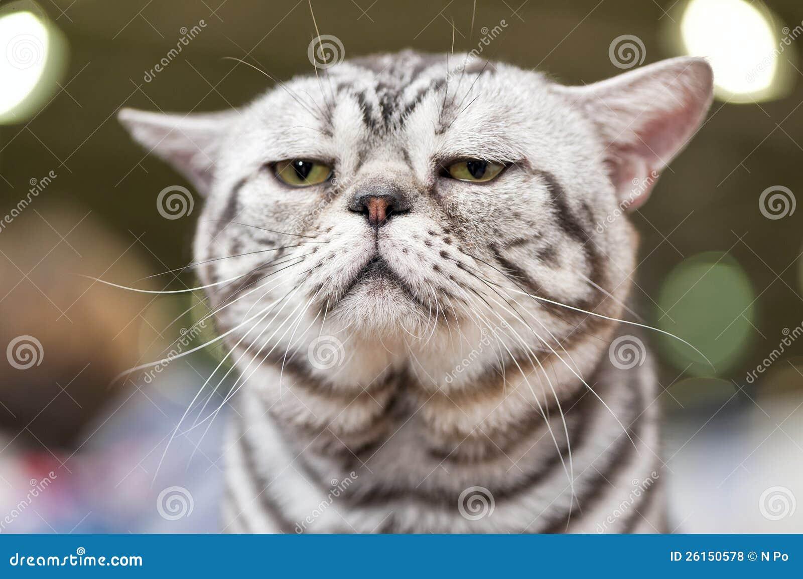 American Short Hair Cat Close Up At Cat Show Royalty Free