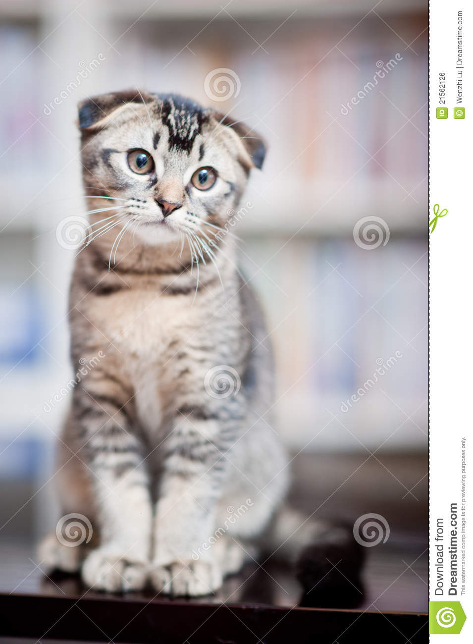 American Shorthair Cat Royalty Free Stock Image - Image: 21562126 Smiling Dog And Cat