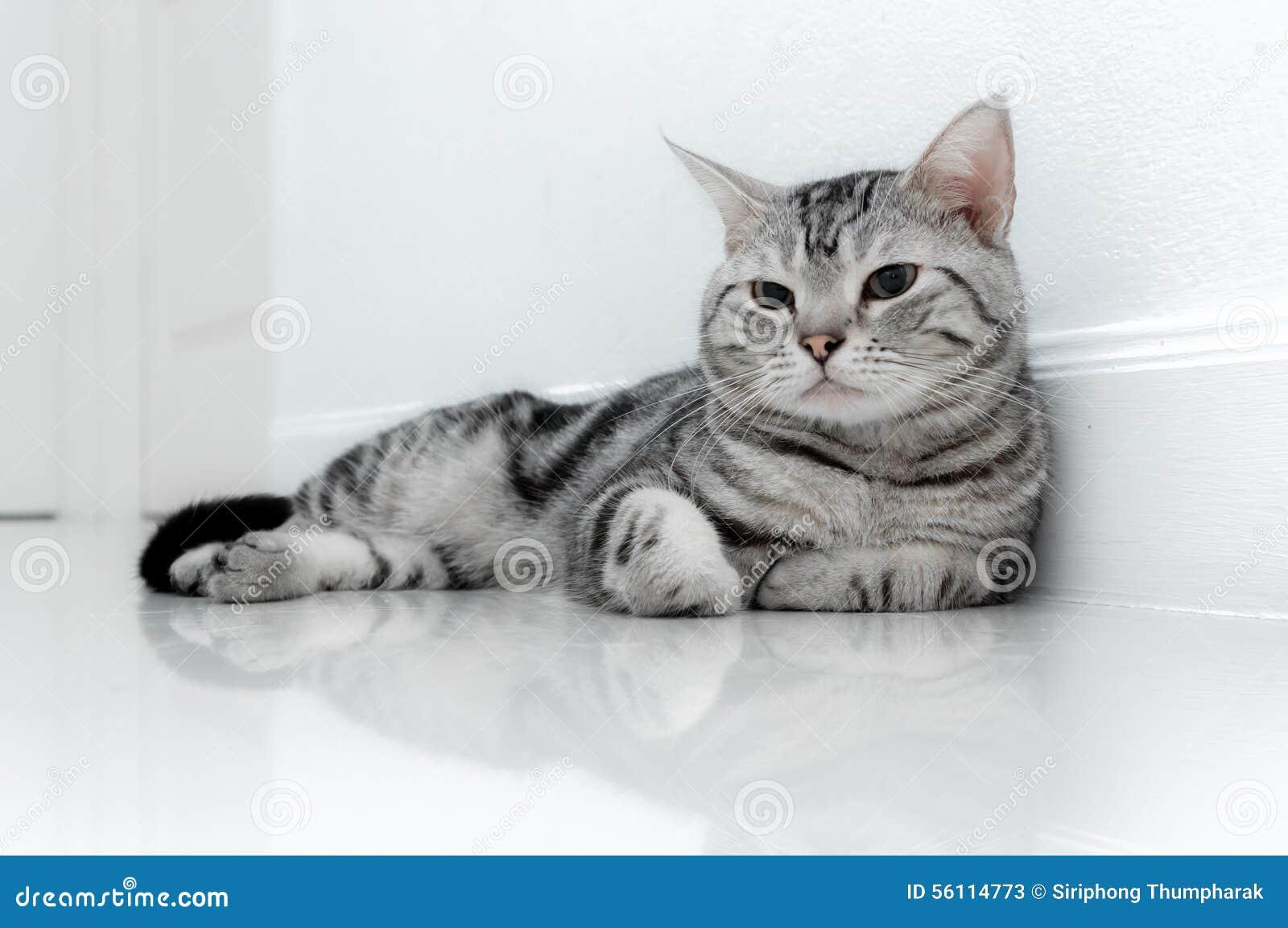 american shorthair cat stock image image of looking 56114773