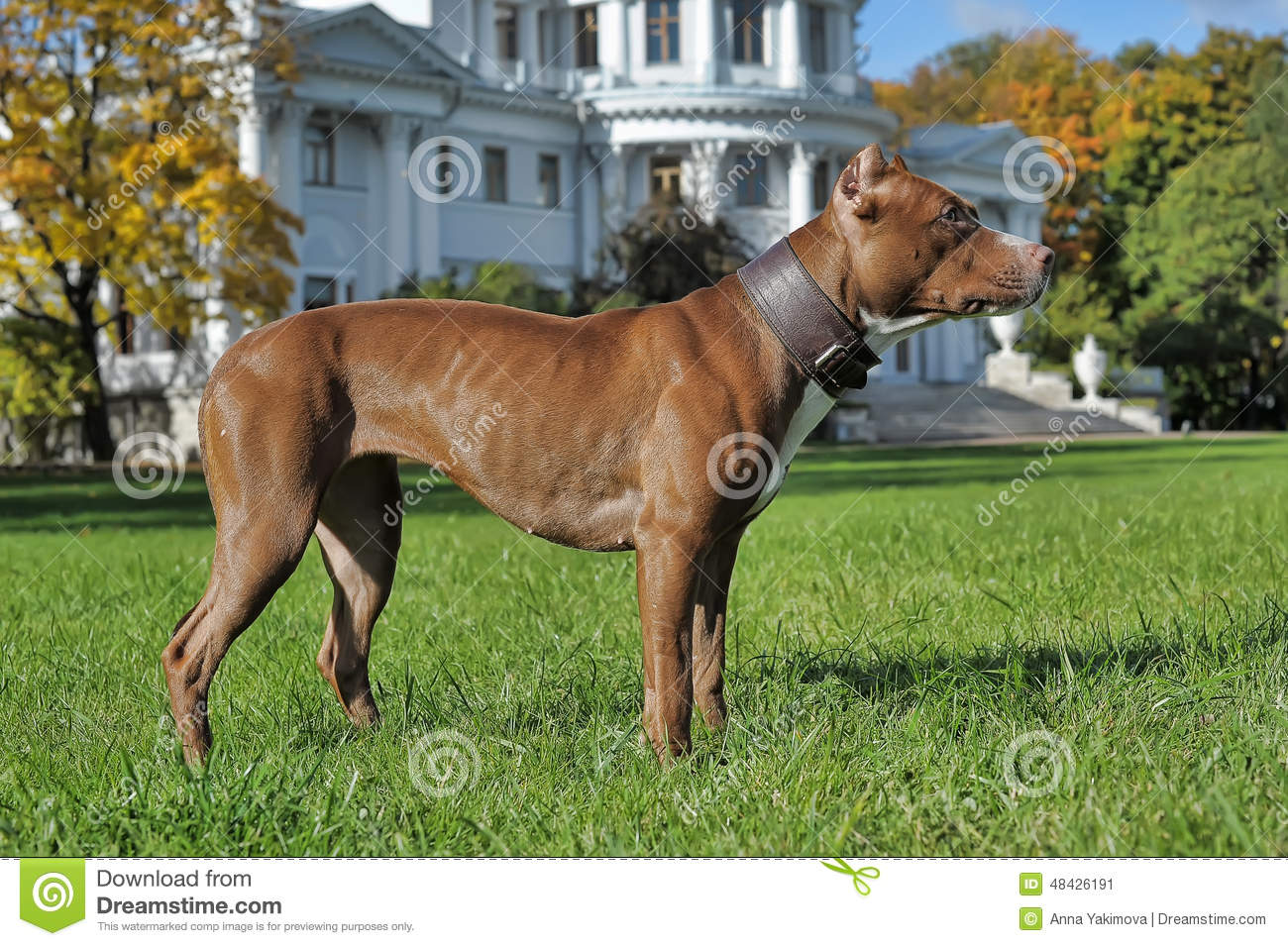 American Staffordshire Pit Bull Terrier Stock Photo - Image: 48426191