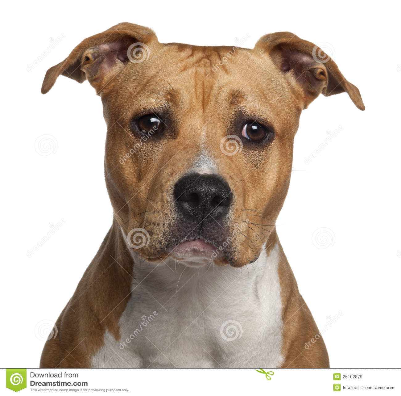 American Staffordshire Terrier, 8 Months Old Royalty Free Stock Images ...