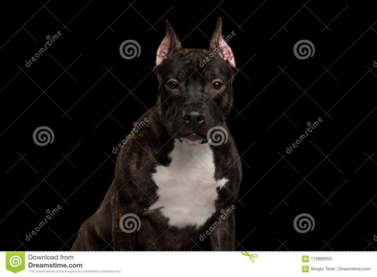 American Staffordshire Terrier Dog Isolated on Black Background