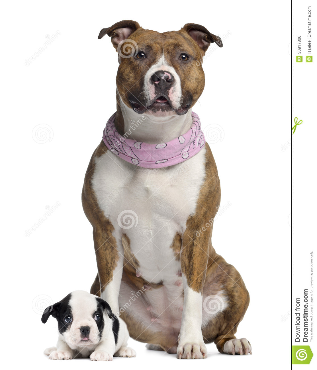 american french bulldog the gallery for gt pitbull french bulldog mix 9065