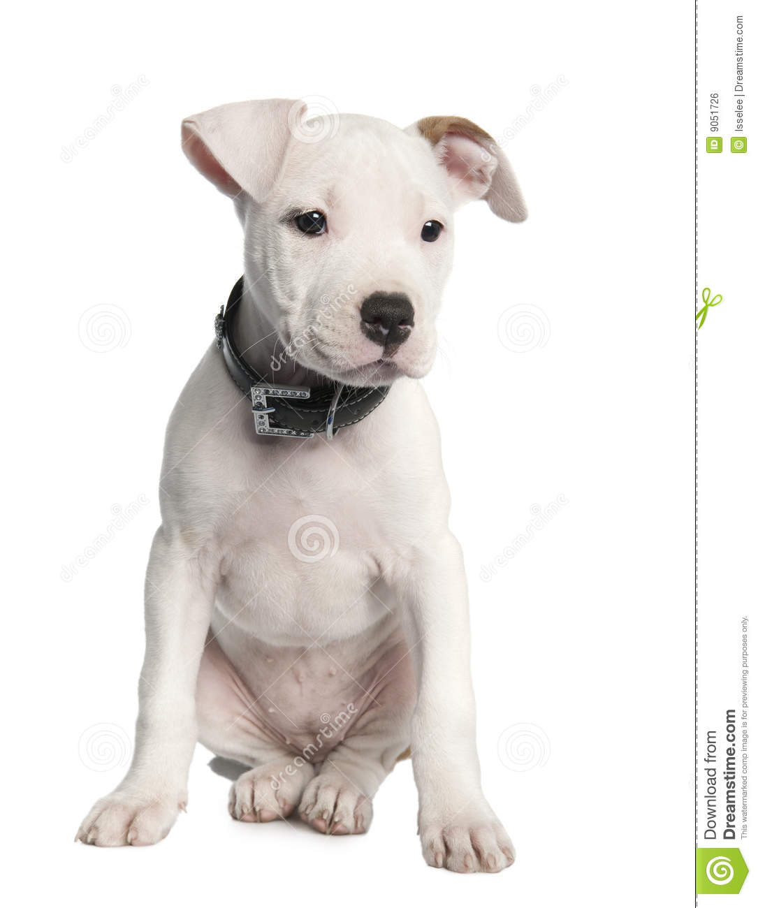 American Staffordshire Terrier Puppy (2 Months) Royalty